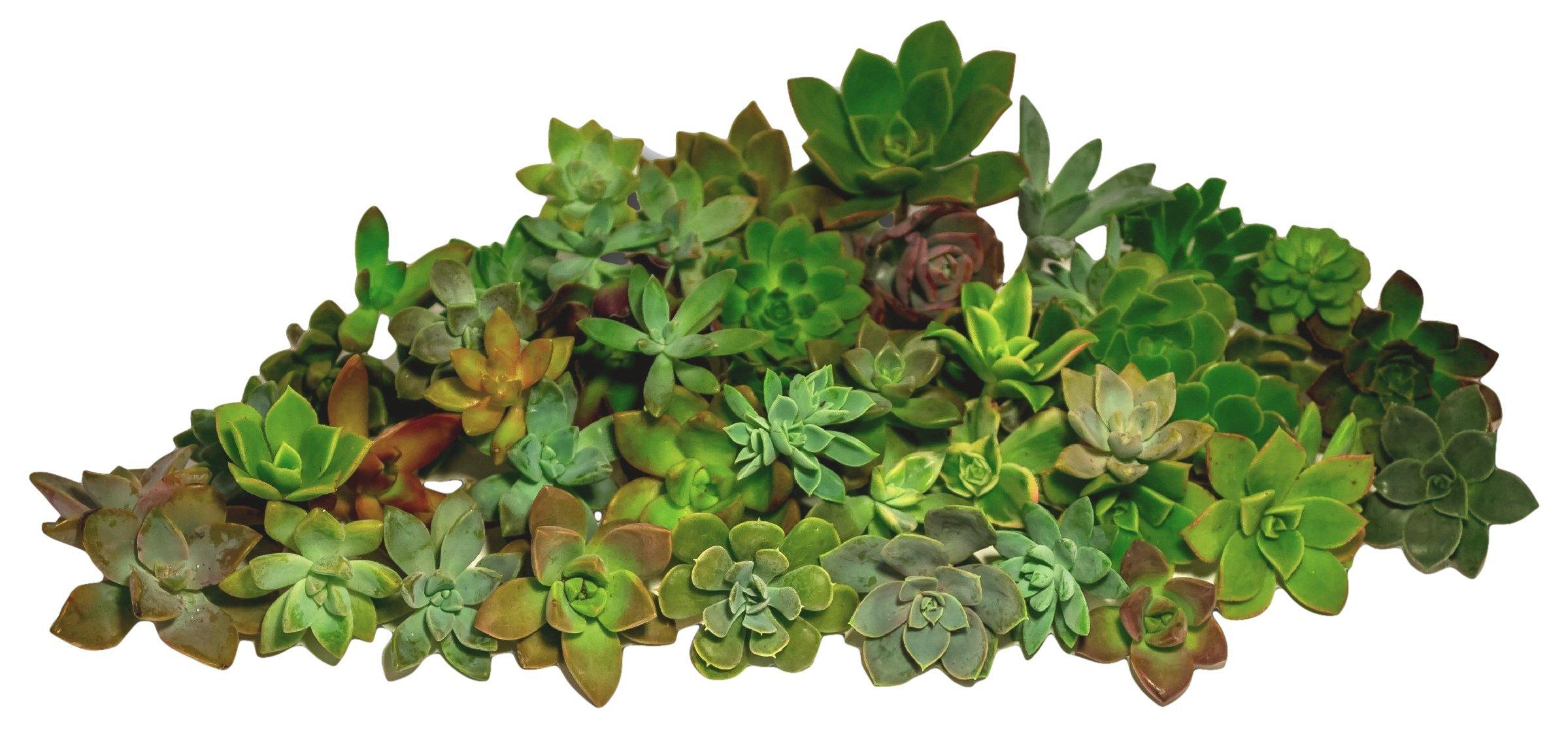 Fat Plants San Diego Gorgeous All Rosette Succulent Cuttings (50)