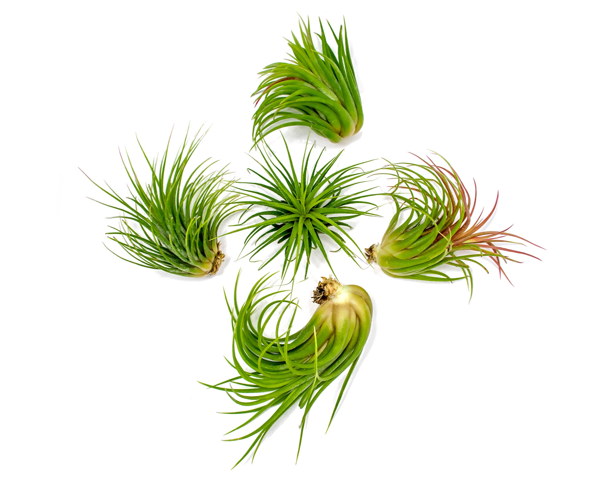 5 Ionantha Tillandsia Air Plant Pack, Each 2 to 3.5 Inches Long, Live Tropical House Plants for Home Decor, Indoor Terrarium Air Plants