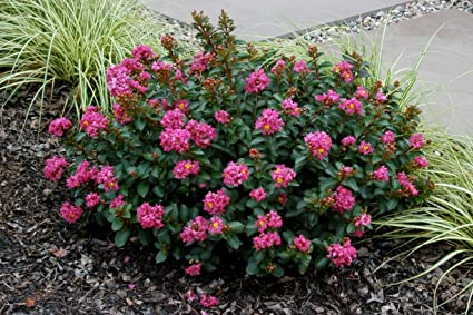 Amazon pocomoke miniature crape myrtle 1 plant tiny rose pocomoke miniature crape myrtle 1 plant tiny rose pink flowers by us national mightylinksfo