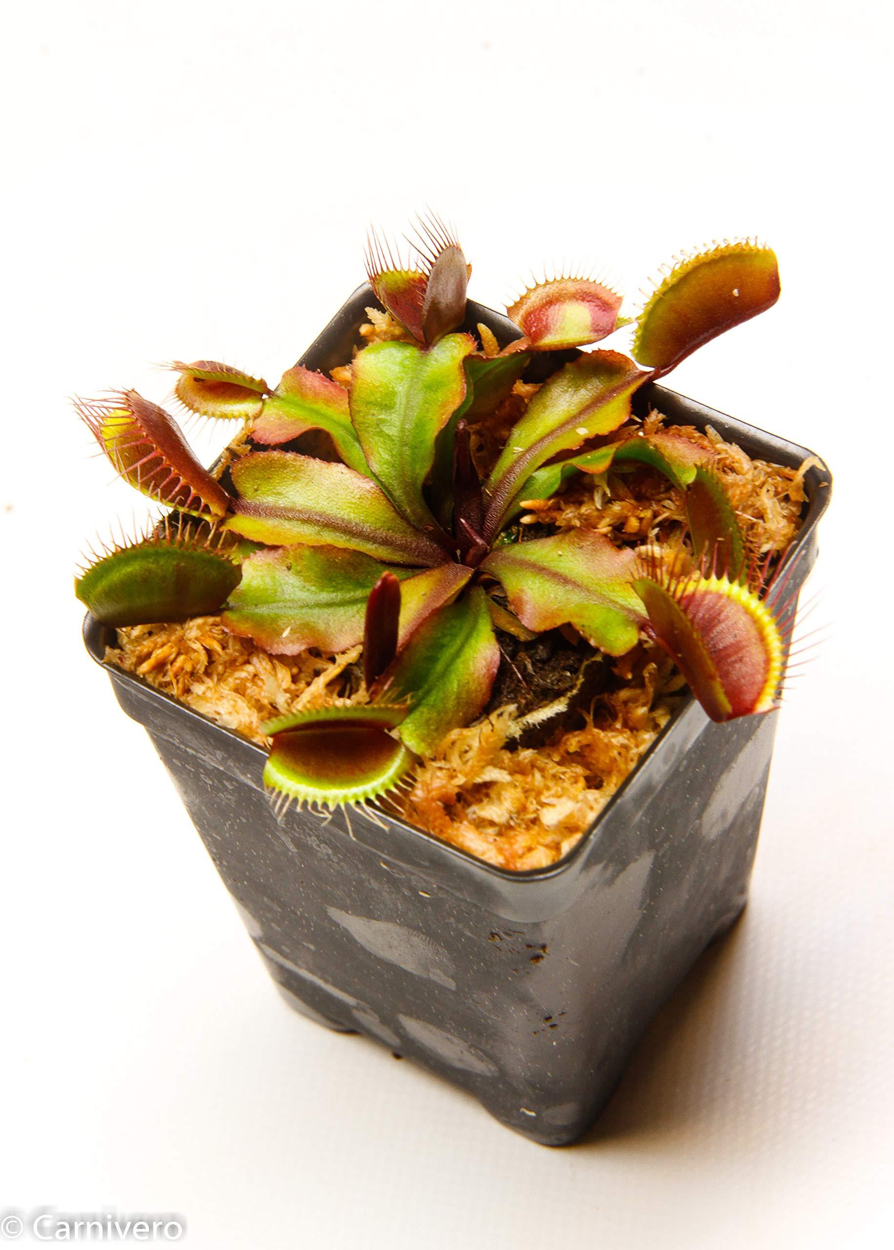 Venus Flytrap- Red Dragon- Carnivorous Plant by Carnivero (Image #3)