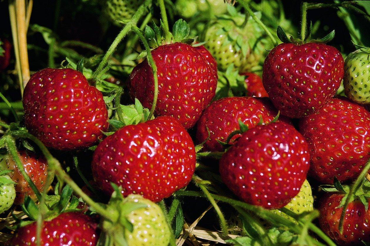 wann erdbeeren pflanzen cool mit erdbeeren aus dem garten. Black Bedroom Furniture Sets. Home Design Ideas