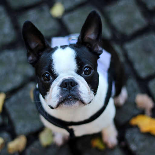 French bulldogs (Free French Bulldog compare prices)