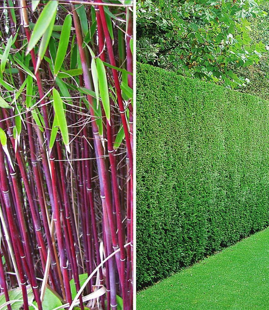 Baldur Garten Hecken Kollektion 3 Pflanzen 1 Pflanze Roter Bambus