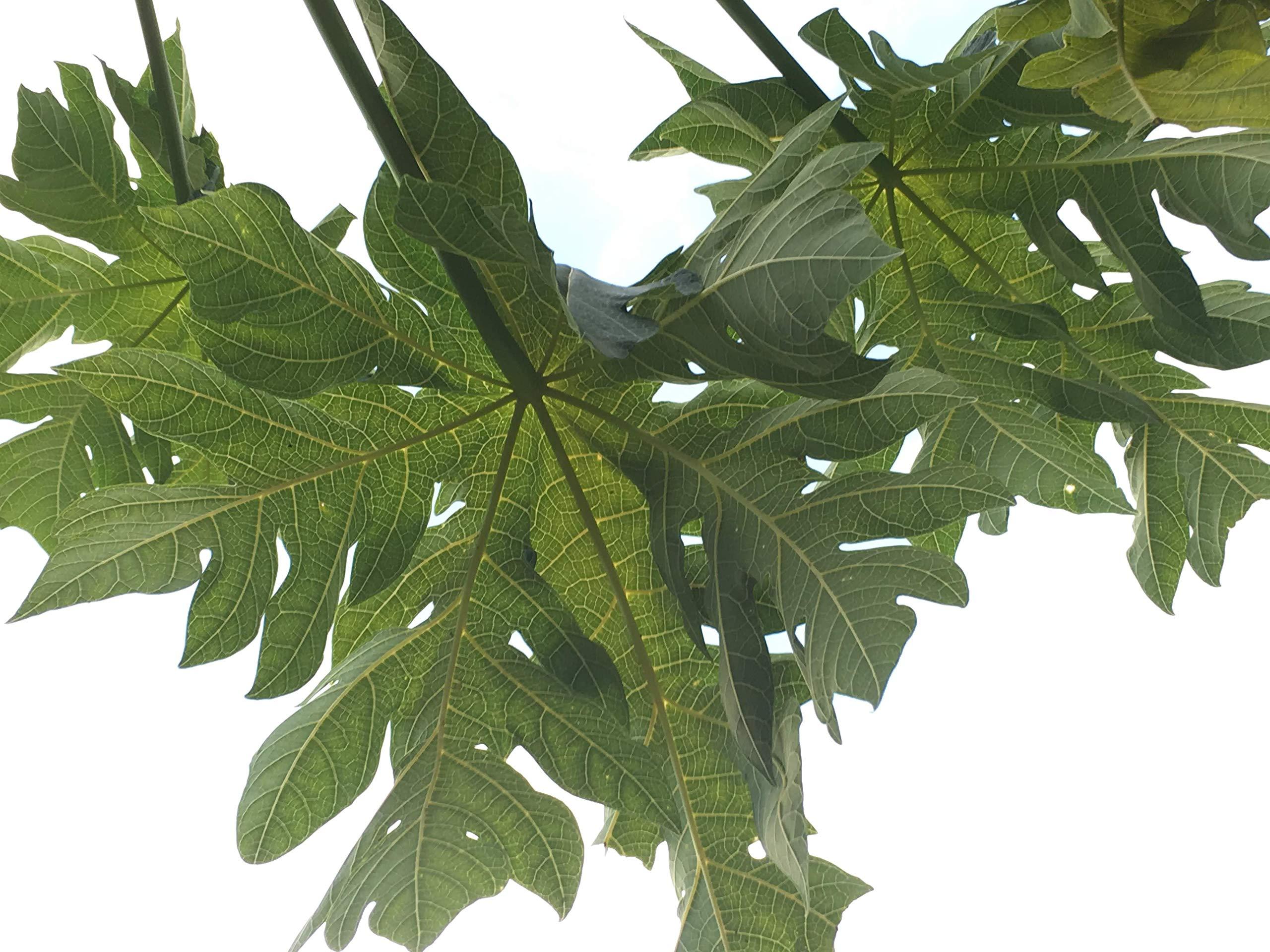 Papaya Leaves Fresh for Tea Organic All Natural, USA South Florida 15-16oz