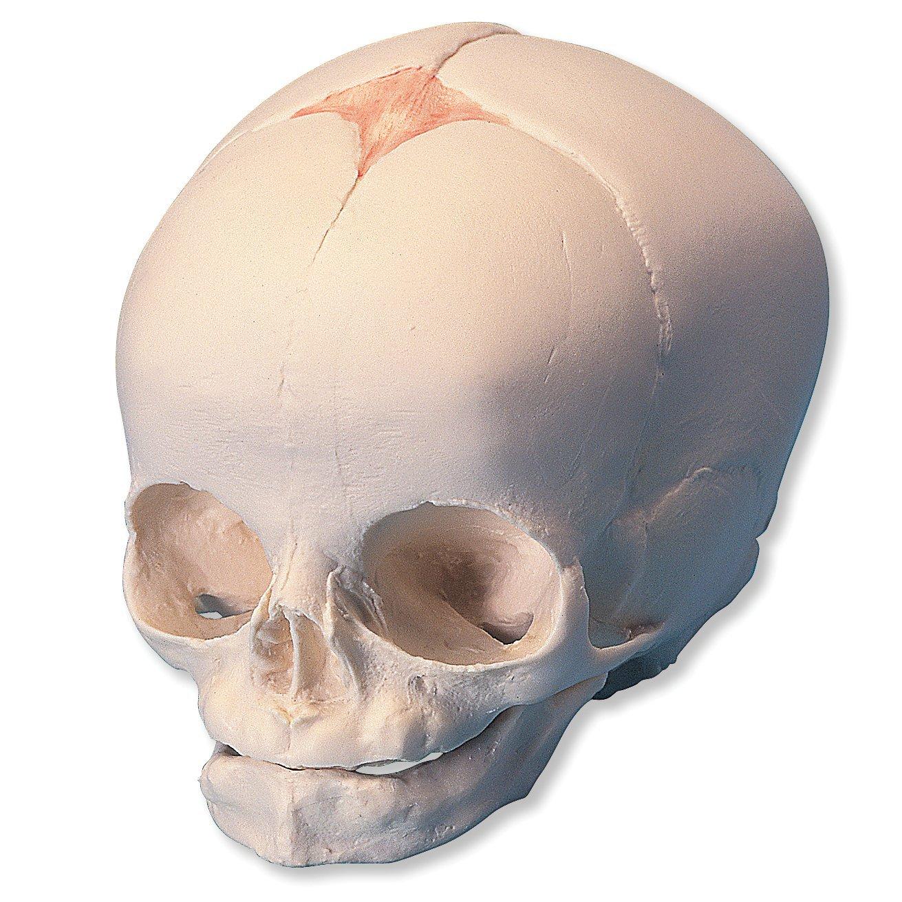 3B Scientific A25 30th Week of Pregnancy Natural Cast Fetal Skull Model, 5.5' x 3.5' x 3.5'