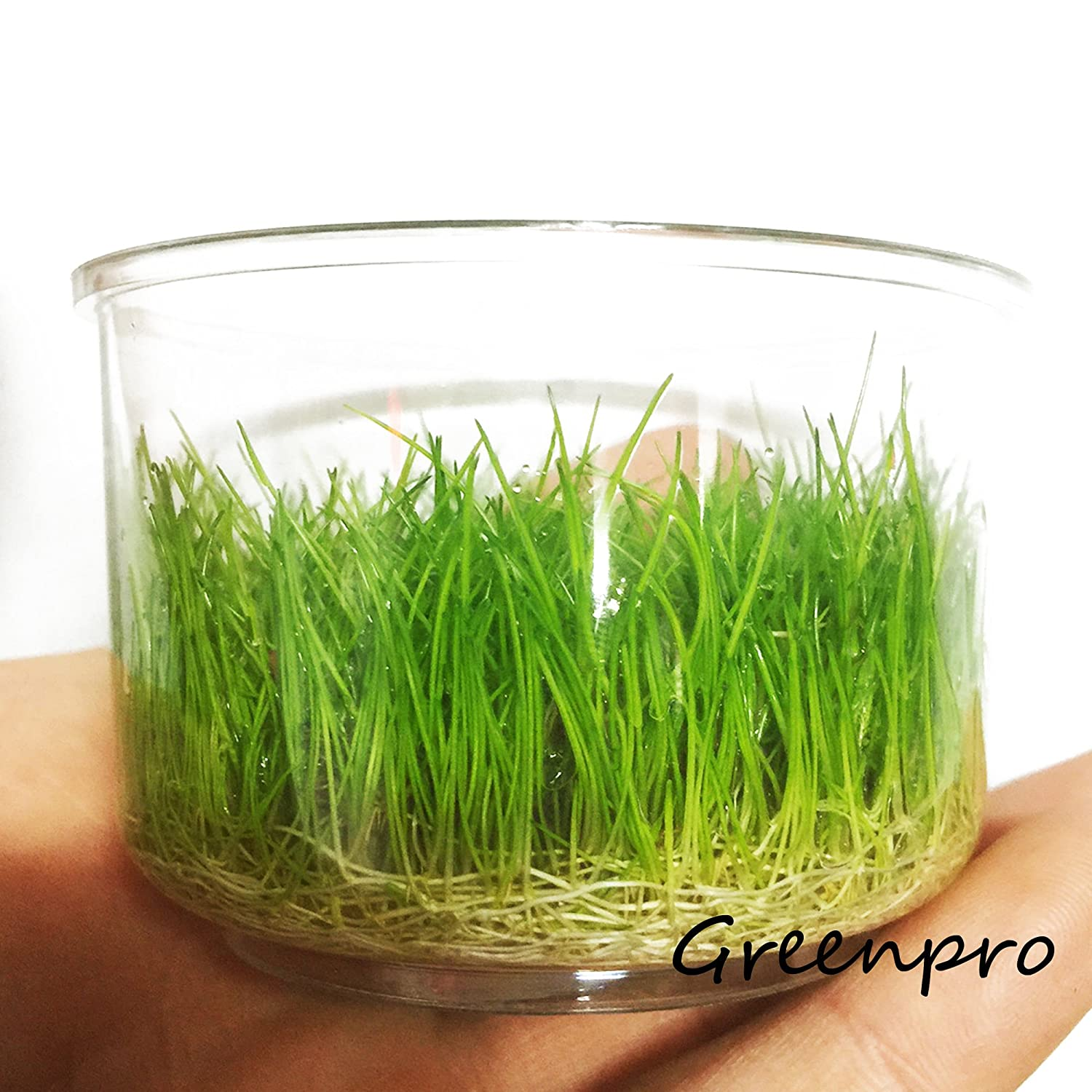 Amazon Dwarf Hairgrass Live Aquarium Plants Tissue Culture Cup