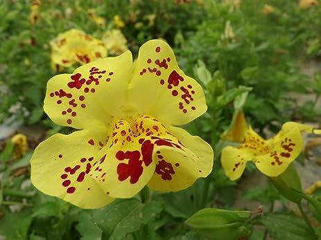 Amazon mimulus monkey flowers musk flowers yellow monkeys mimulus monkey flowers musk flowers yellow monkeys face flower 400 seeds mightylinksfo