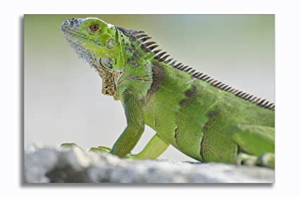 Image result for iguana in a white towel photo