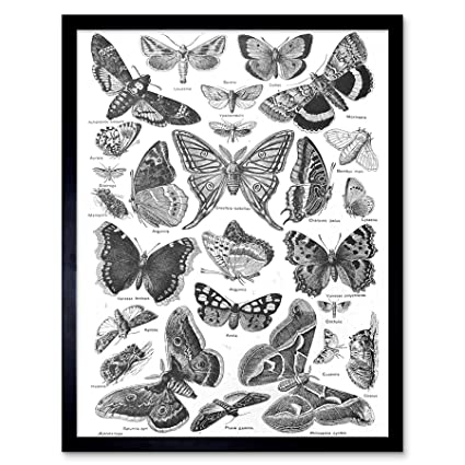 568243a51 Image Unavailable. Image not available for. Color: Wee Blue Coo Scientific Illustration  Butterfly Moth Black White Drawing Art Print Framed Poster ...