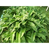 1 DOZEN (12) ORGANIC RUSSIAN COMFREY fresh root cuttings for your biomass crop