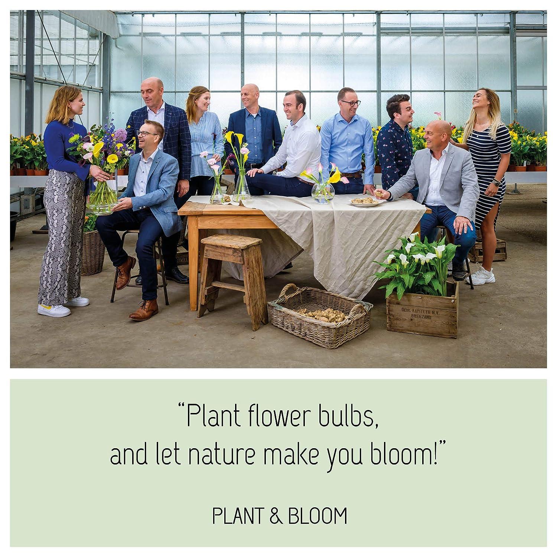 Kolibris /& Schmetterlinge Plant /& Bloom Blumenzwiebeln aus Holland 30 Zwiebeln Holl/ändische Qualit/ät Zum Pflanzen im Herbst Tulpen /& Narzissen Einfach zu z/üchten Bl/üten