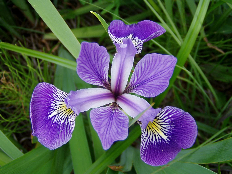 Iris versicolor (Blue flag or Poison flag)-None-9 cm Lincolnshire Pond Plants