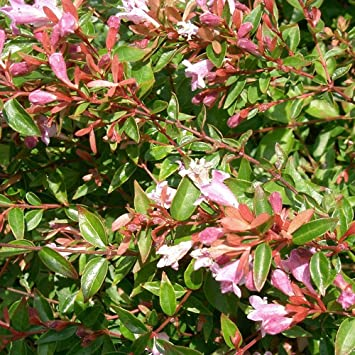 Abelia Edward Goucher 15cm Pot Size Amazoncouk Garden Outdoors