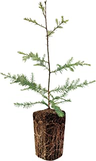product image for Coast Redwood | Live Tree Seedling (XL) | The Jonsteen Company