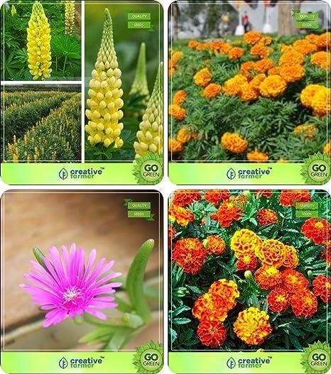 Semillas de flores Pinkdose®: Semillas de plantas para el jardín casero Combo de invierno y toda la temporada e invierno/verano Lupine-Pixie Delight Dwarf, Marigold-Hawaii, Burf-Heave: Amazon.es: Hogar