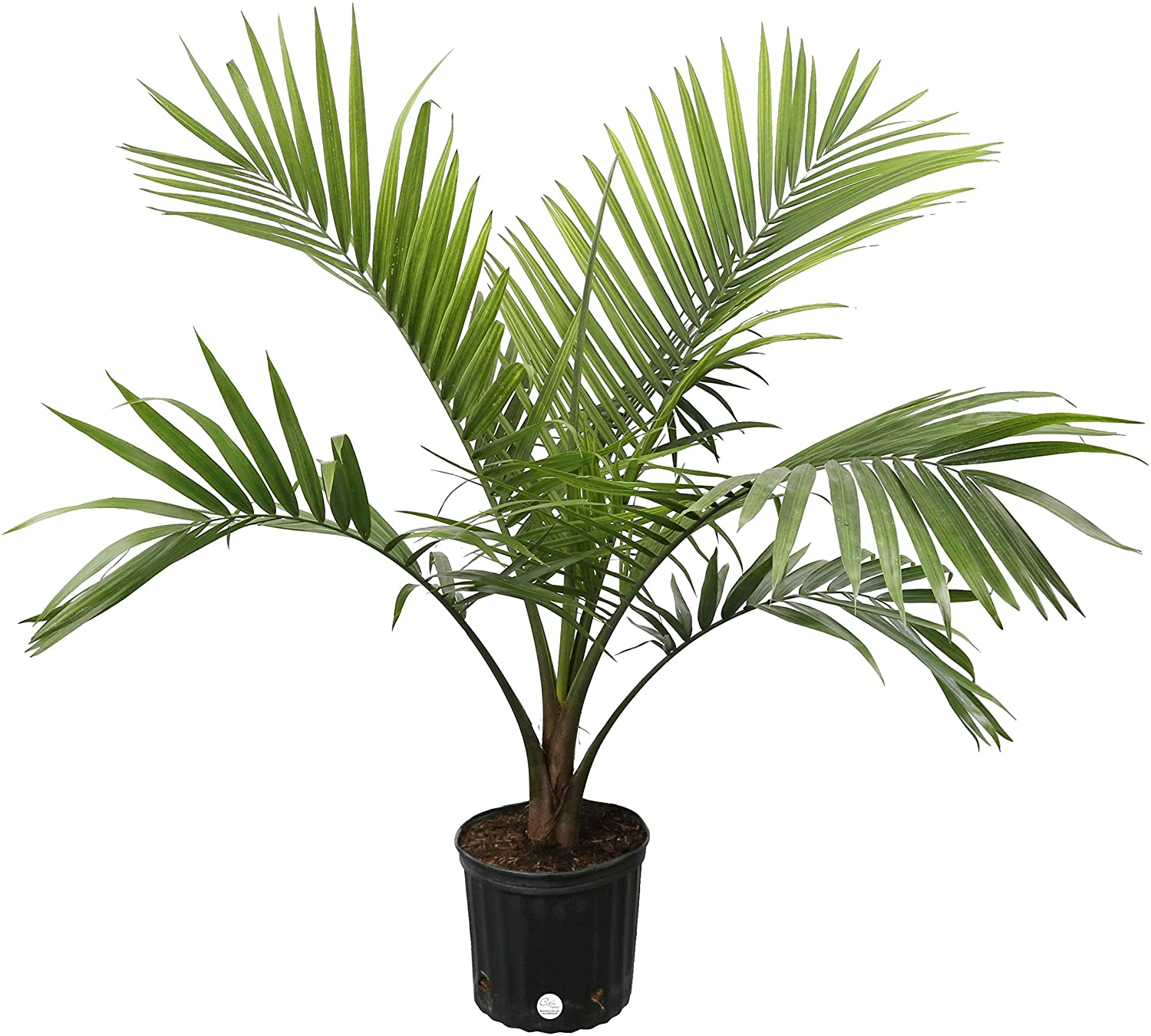 Costa Farms Majesty Palm Tree, Live Indoor Plant, 3 to 4-Feet Tall, on