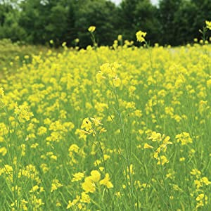 Pacific Gold Mustard Seeds by Mighty Mustard - 1 Lb - Non-GMO, Open Pollinated Farm & Garden Cover Crop Seeds