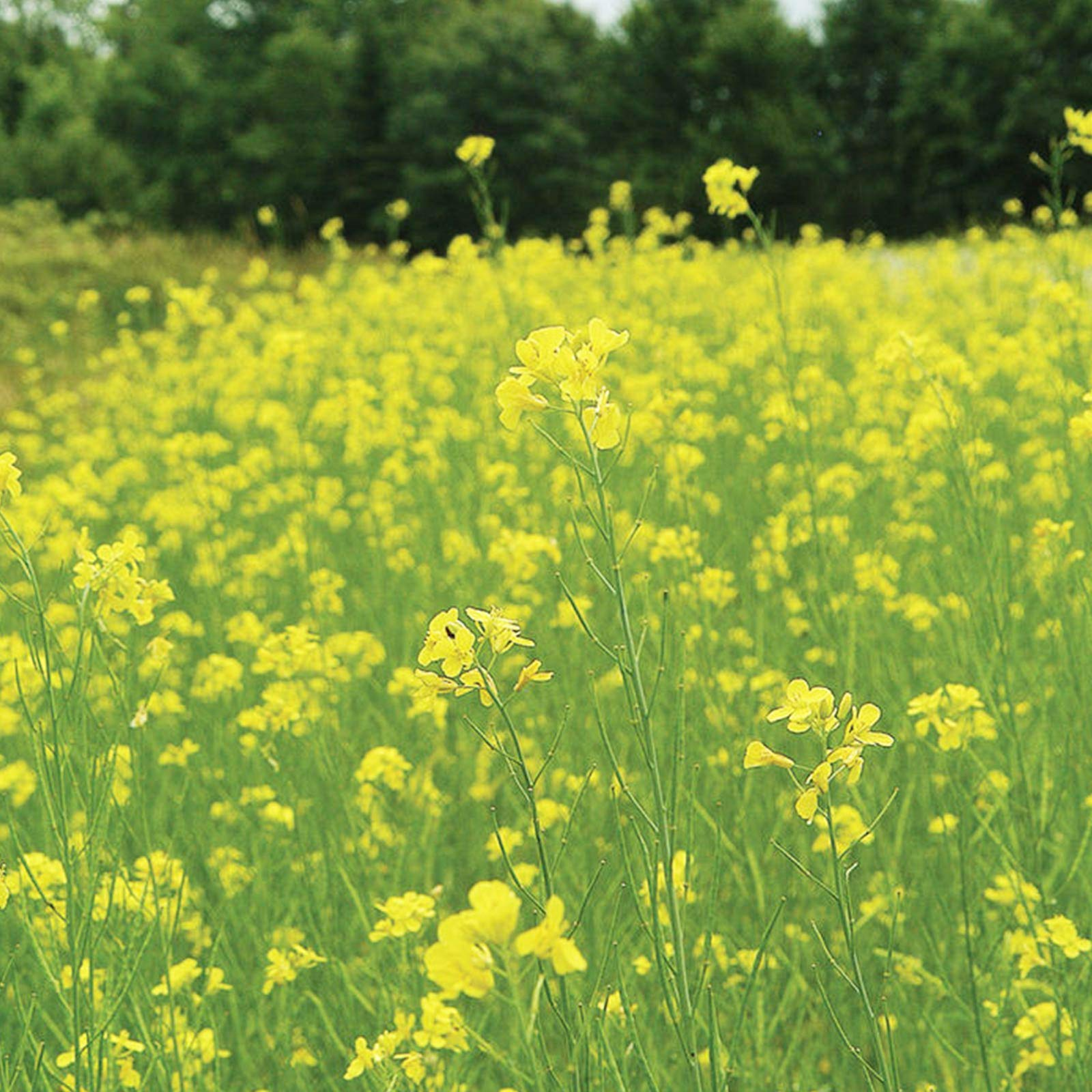Pacific Gold Mustard Seeds by Mighty Mustard - 5 Lb - Non-GMO, Open Pollinated Farm & Garden Cover Crop Seeds