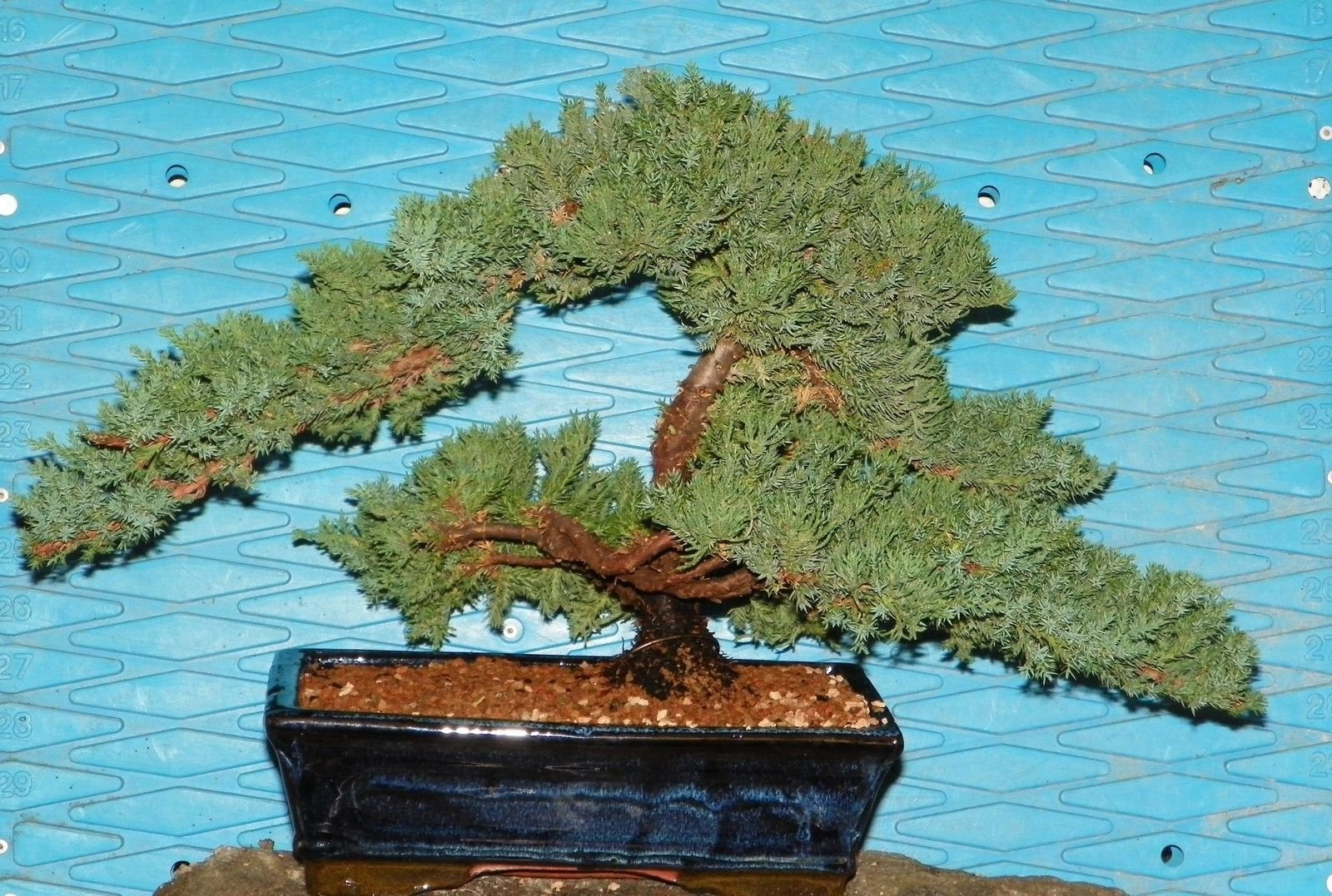 Bonsai EX Large Japanese Dwarf Juniper Tree GREAT