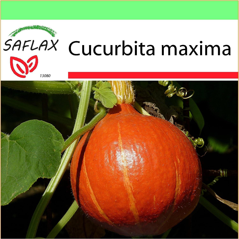 10 graines Cucurbita maxima Hokka/ïdo SAFLAX Potiron Jardin dans la bo/îte