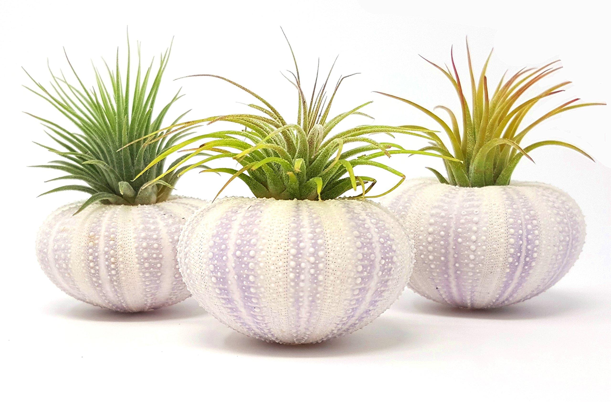 Aura Creations 3 pcs Purple Sea Urchin Air Plant Lot/Kit includes 3 Tillandsia Plants and 3 Urchin Shells