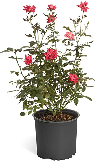 Amazon Com Double Knock Out Rose Bush Large Developed Plants