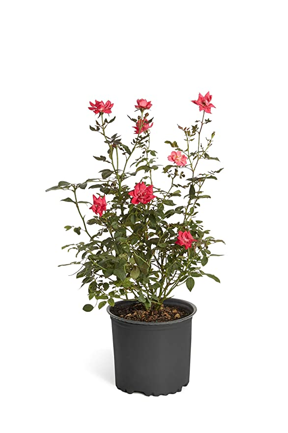 Amazon.com: Double Knock Out Rose Bush - Plantas grandes y ...