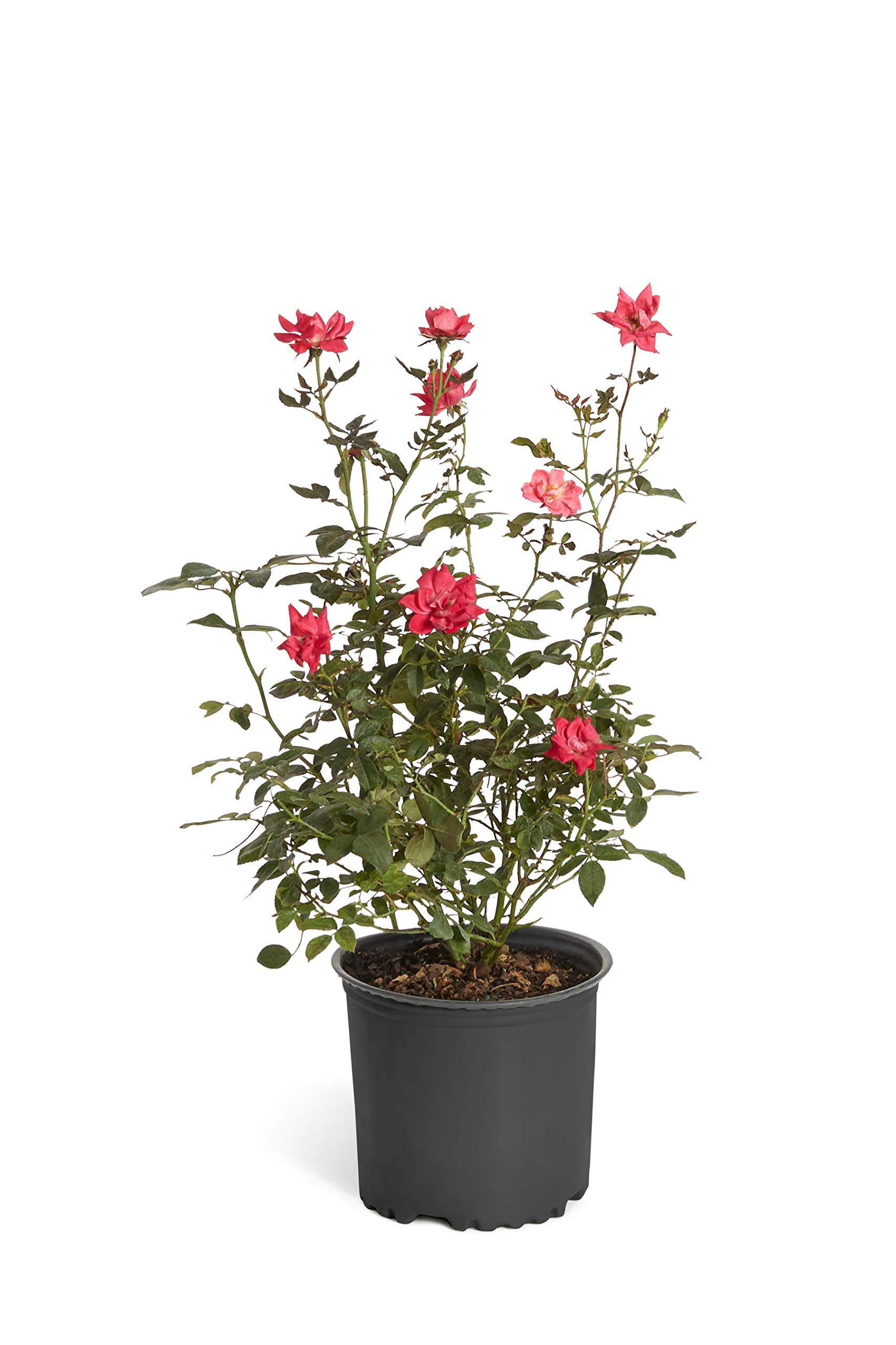 Double Knock Out Rose Bush- Large, Developed Plants for Instant Blooms- Not Tiny Quarts, Seedlings, or Seeds. Enjoy Blooms The First Year with These Large Shrubs with Double-Red Blooms - 1 Gallon