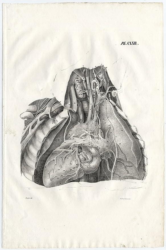 Amazon Antique Print Human Anatomy Nerves Heart Lungs Aorta