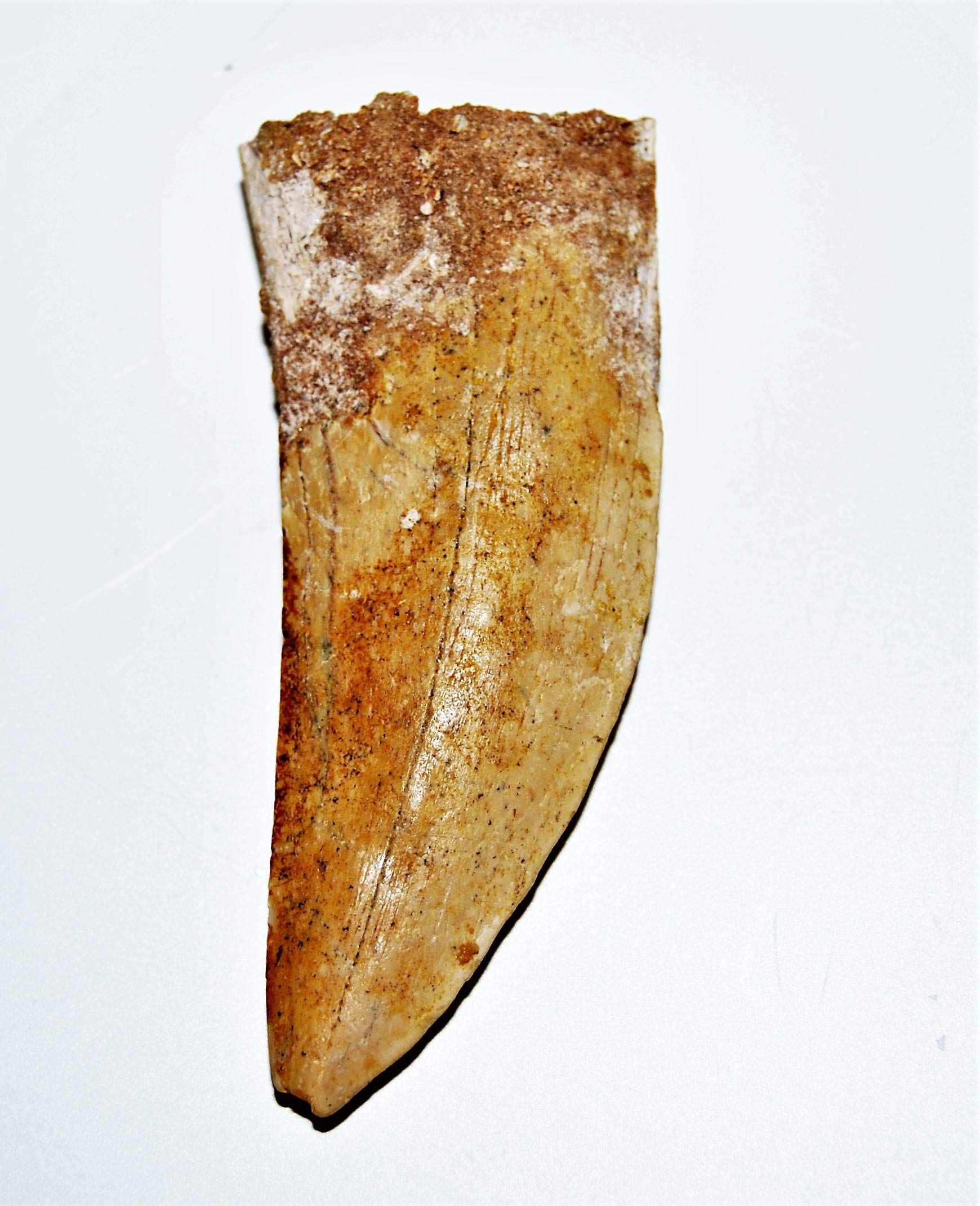 Carcharodontosaurus Dinosaur Tooth 2.878'' Fossil African T-Rex LDB #14167 15o by Fossils, Meteorites, & More (Image #3)