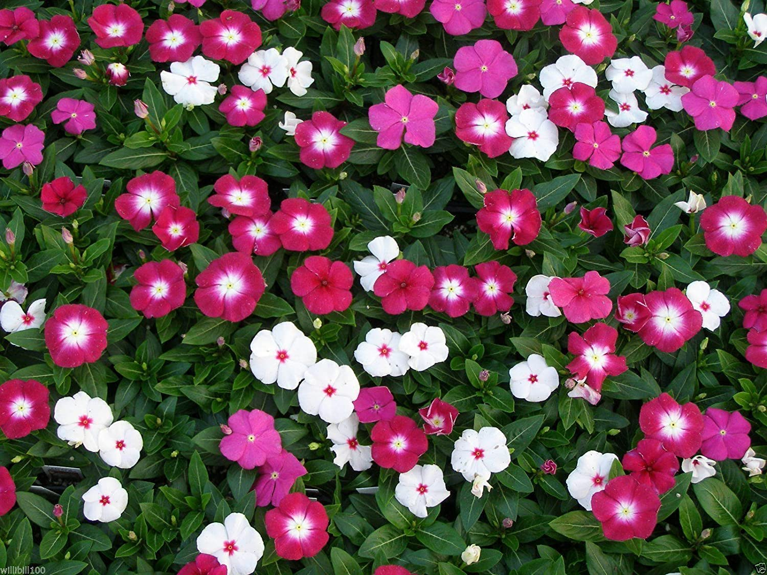 Amazon 300 Dwarf Little Mix Periwinkle Vinca Rosea Dwarf