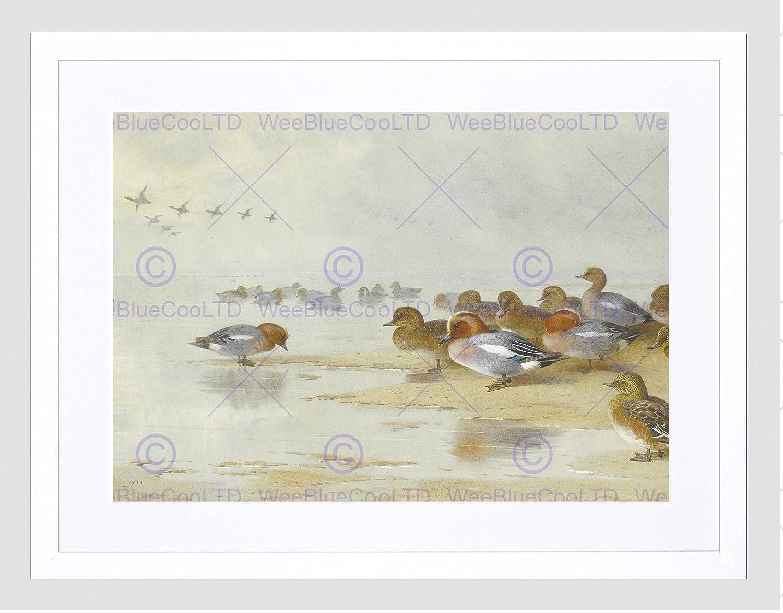 PAINTING BIRDS DUCKS THORBURN WIGEON TEAL BEACH FRAMED ART PRINT MOUNT B12X11699