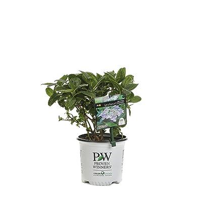1 Gal. Let's Dance Starlight Bigleaf Hydrangea (Macrophylla) Live Shrub, Blue or Pink Flowers: Garden & Outdoor