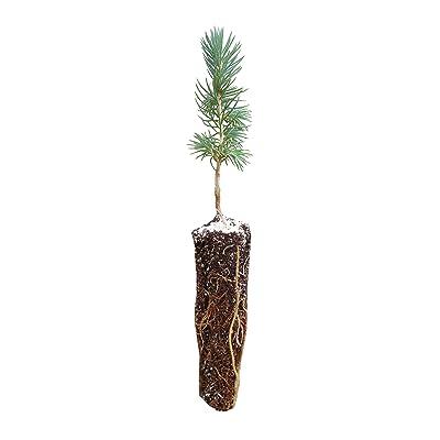 Engelmann Spruce | Small Tree Seedling | The Jonsteen Company : Garden & Outdoor