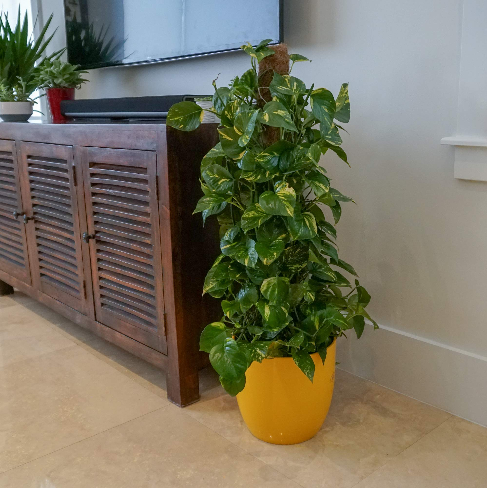 United Nursery Golden Pothos Totem Live Indoor Air Plant. 38'' Shipping Size. Shipped Fresh in Grower Pot from Our Florida Farm by United Nursery (Image #4)