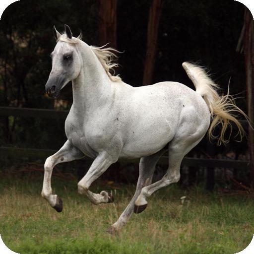 Arabian Horses Images - 5