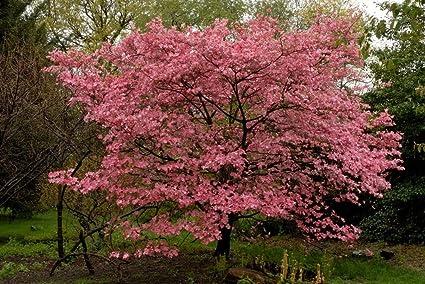 Amazon pink flowering dogwood 10 seeds trees seeds garden pink flowering dogwood 10 seeds trees seeds mightylinksfo