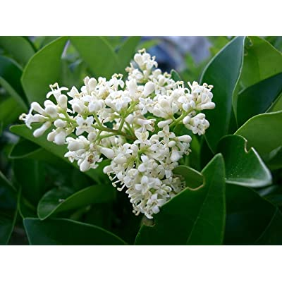 Ligustrum japonicum JAPANESE PRIVET Evergreen Shrub Seeds! : Garden & Outdoor