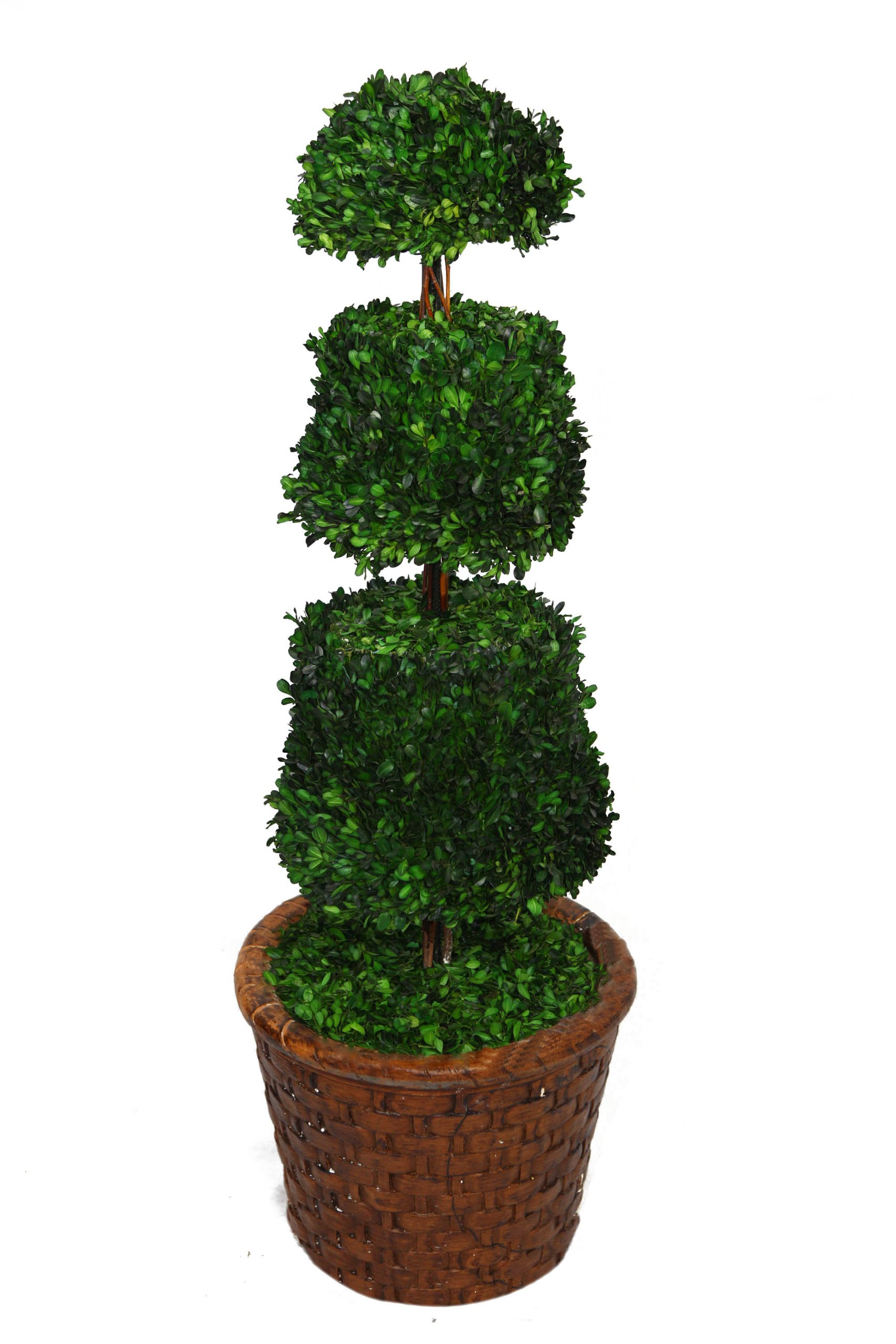 Laura Ashley 49 Inch Tall Preserved Natural Spiral Boxwood Cone Topiary in 17 Inch Fiberstone Planter by Laura Ashley (Image #2)