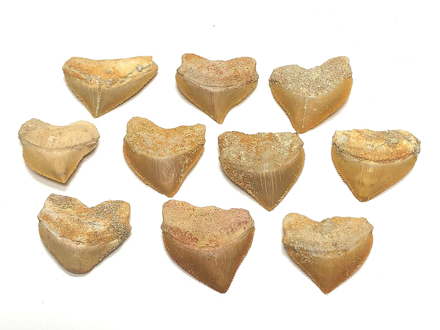 "Zentron Crystal Collection Corax Shark Teeth Squalicorax Fossil Tooth 1"" (5)"