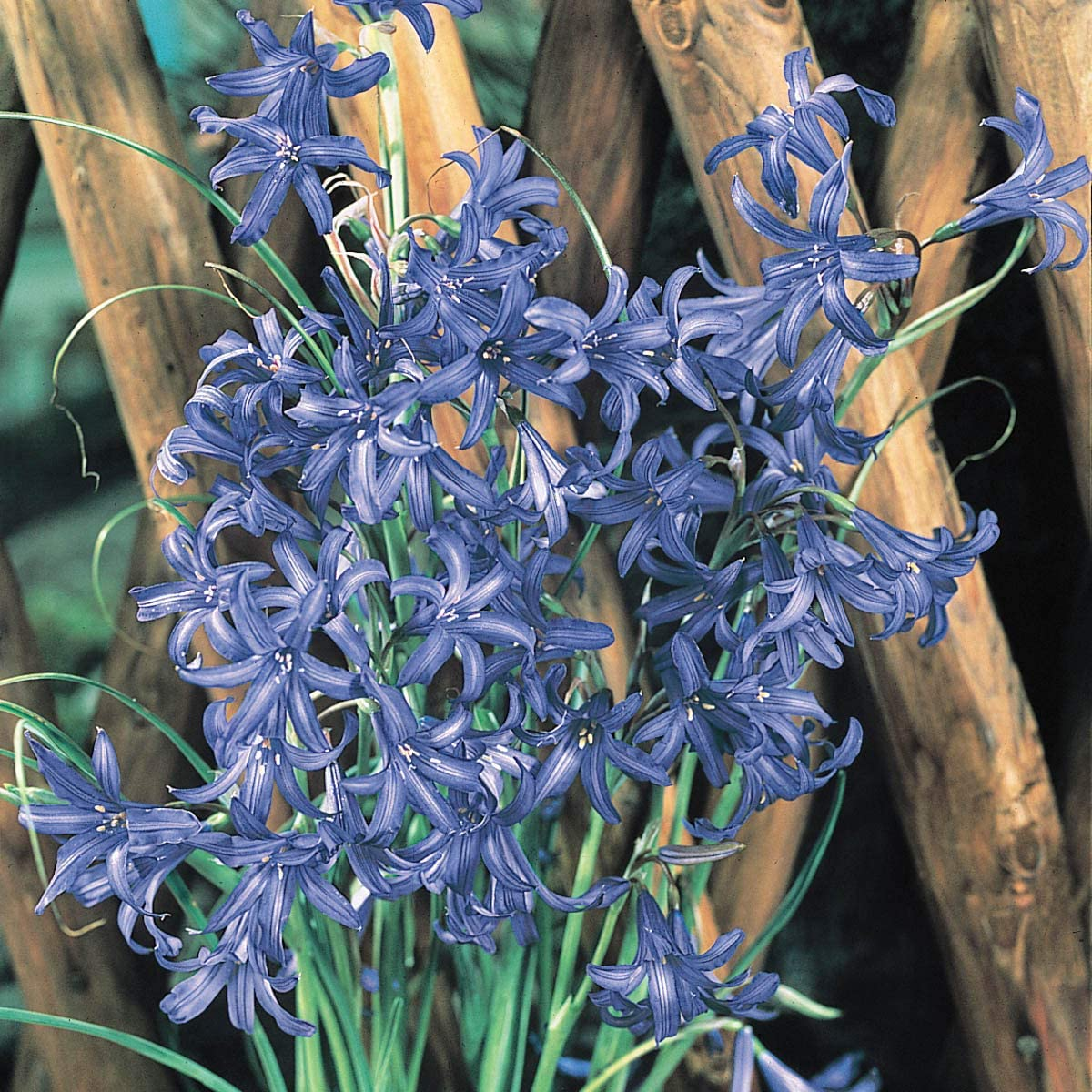 BRECK'S Lavender Colored Mountain Lillies Flowering Bulbs - Each Offer Includes 20 Bulbs