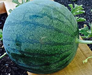 Sugar Baby Watermelon Seeds, 100+ Premium Heirloom Seeds, Delicious & Sweet! Fantastic Addition to Your Home Garden!, (Isla's Garden Seeds), Non GMO, 85-90% Germination Rates, Highest Quality
