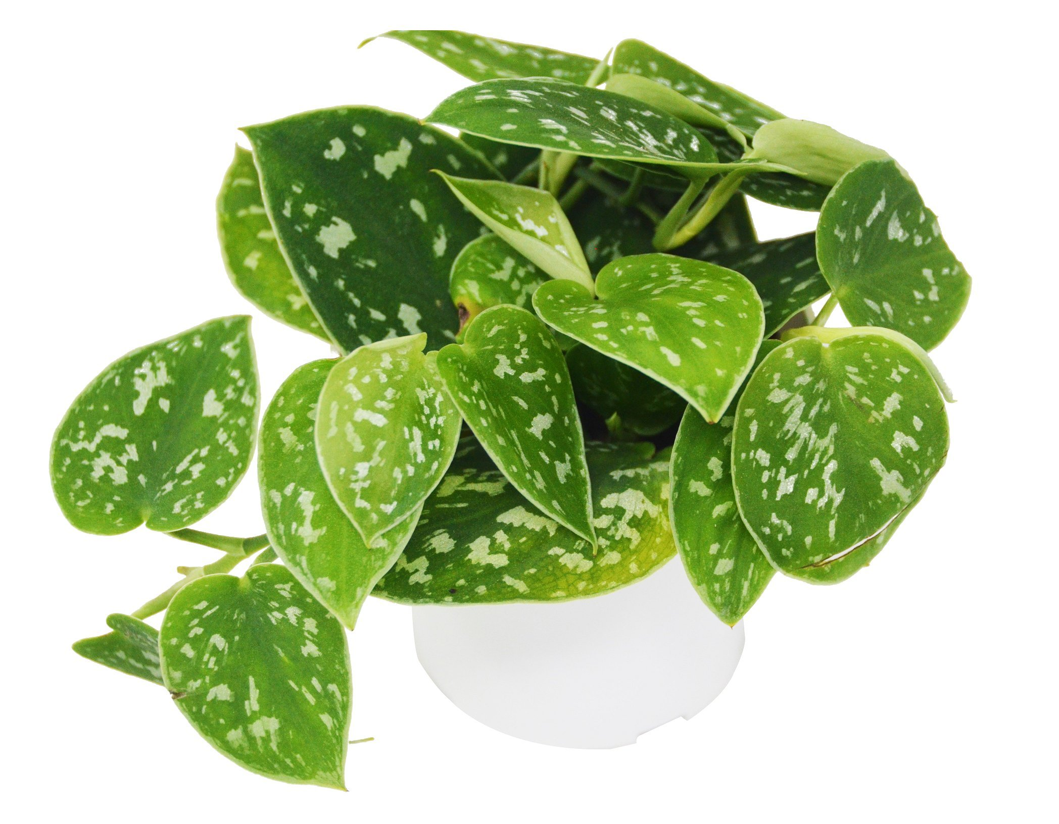 Pothos 'Satin' - Live Indoor House Plant - FREE Care Guide - 4'' Pot by House Plant Shop