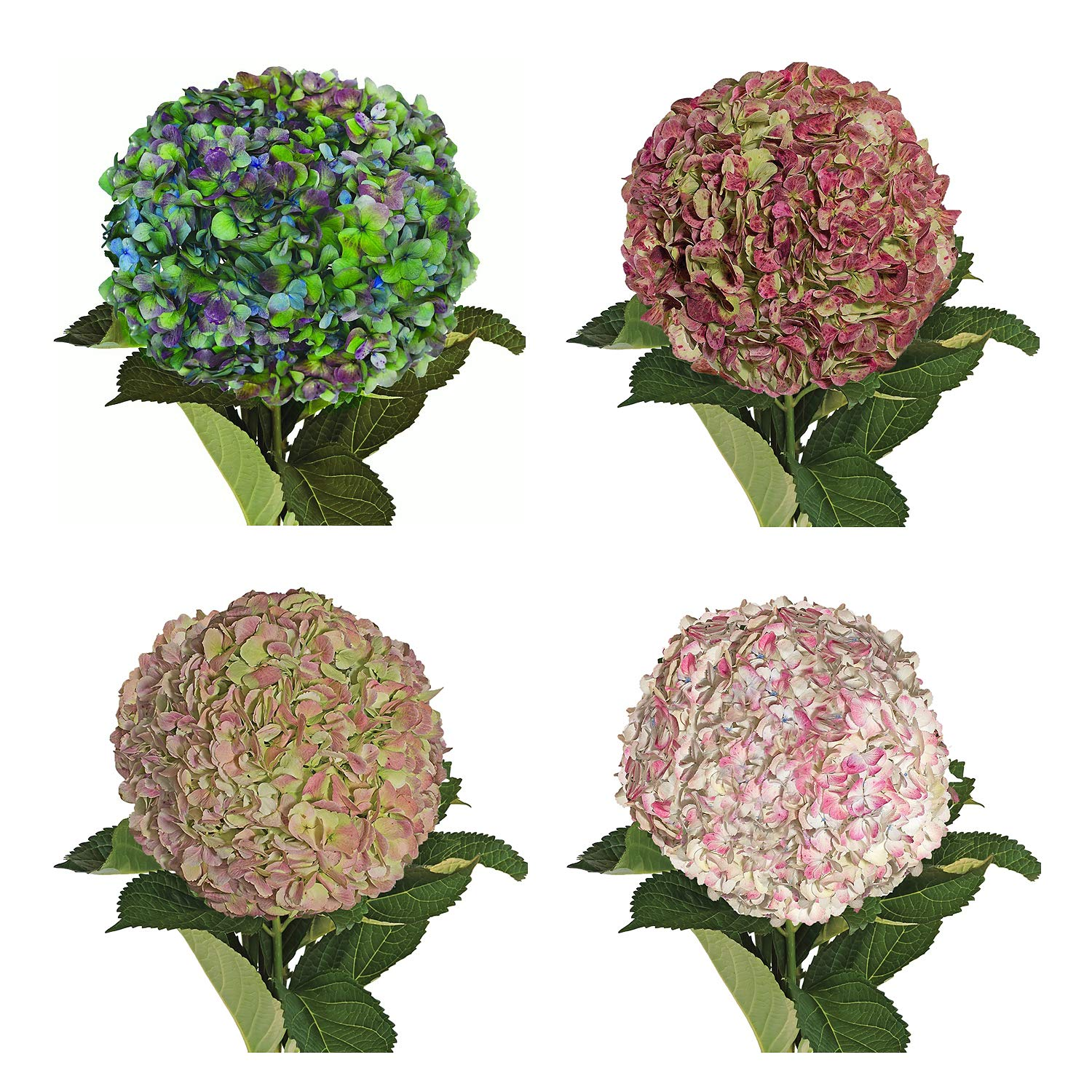 Farm Fresh Natural Jumbo Antique Assorted Hydrangeas - Pack 12 by Bloomingmore