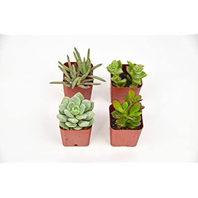 "Succulent 4-Pack / 2.0"" Pot/Live Home and Garden Plants : Garden & Outdoor"