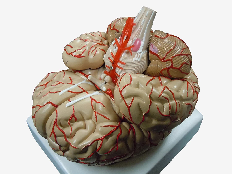 人体模型 脳 模型 脳解剖模型 取り外し可能 高性能 実物大   B00E1965FA