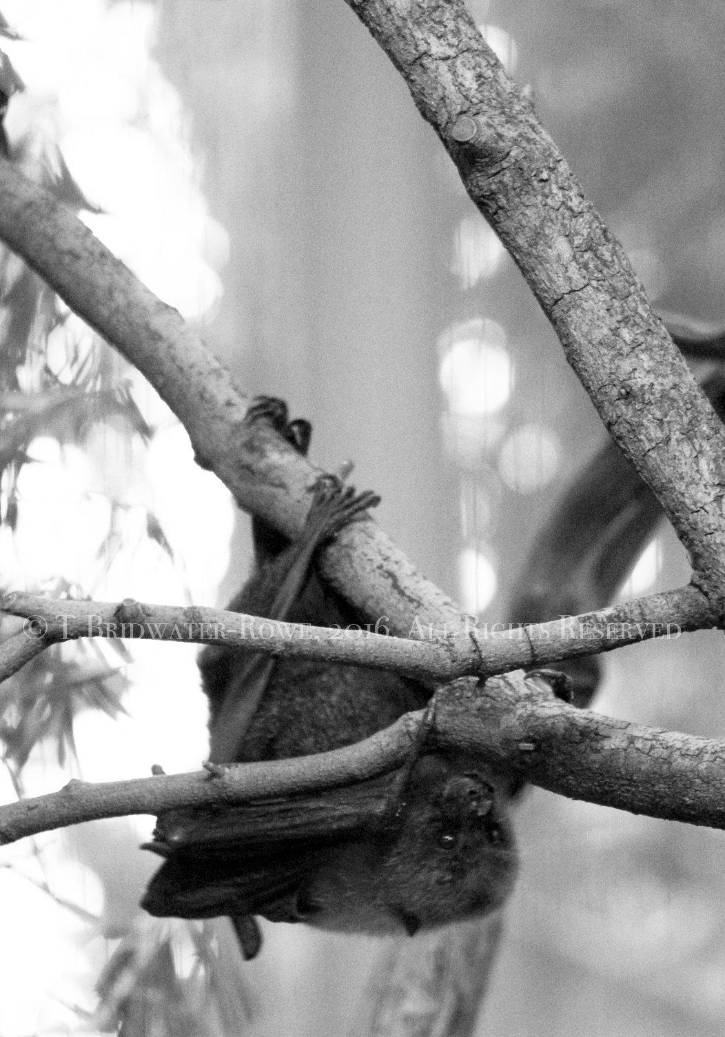 16x20 Art on Canvas, Bat Art, Nature Photography, Wildlife Photography, Art on Canvas, Cute Bat Print, Animal Print, Black and White Home Decor, Wildlife, Bat Photograph on Canvas, Canvas Wall Art