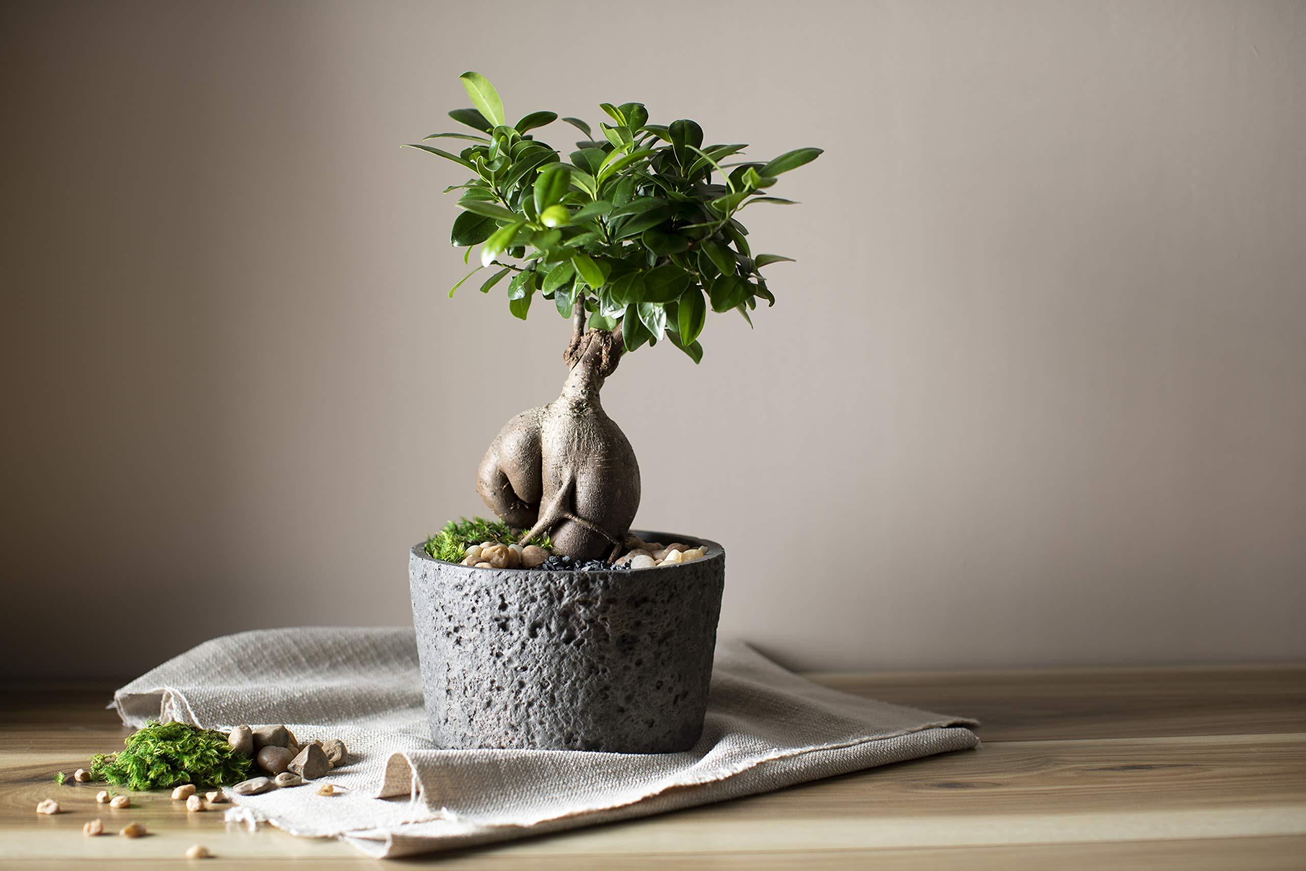 LiveTrends Design LT- Serenity 6'' Ficus Ginseng, Grey