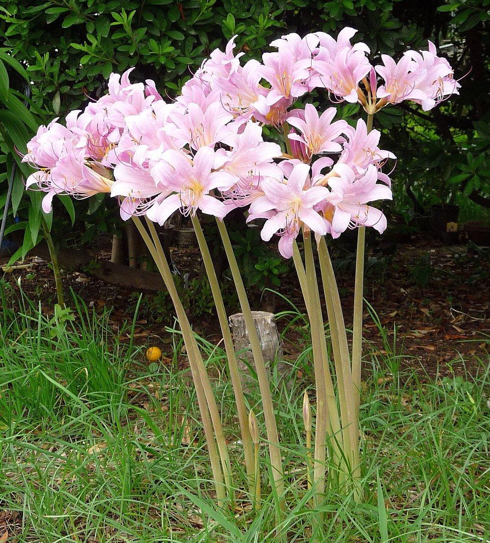 Amazon Naked Lady Magic Lily 1 Bulb Lycoris Squamigera