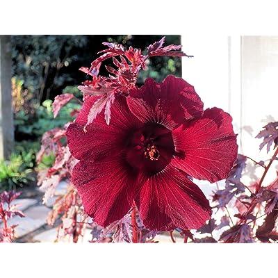 MAHOGANY SPLENDOR Tropical Hibiscus - 5 SEEDS, RED JAPANESE MAPLE : Garden & Outdoor
